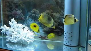 20171204 チョウチョウウオ水槽動画