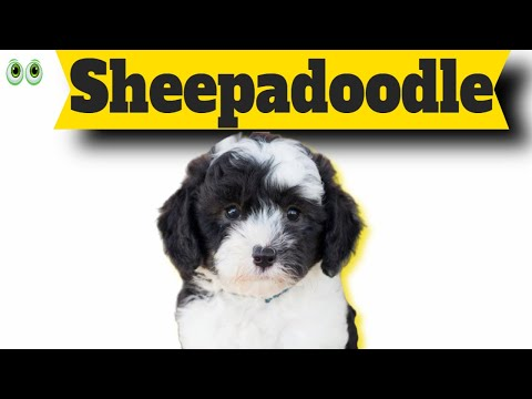 sheepadoodle-–-must-know-information-and-facts-of-this-smart-dog-breed
