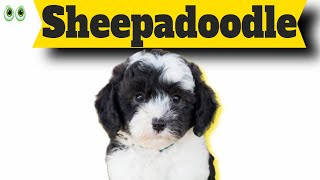 Sheepadoodle – Must Know Information and Facts of This Smart Dog Breed