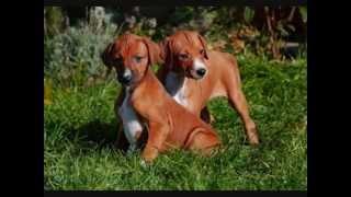 Все породы собак.Азавак (Azawakh)