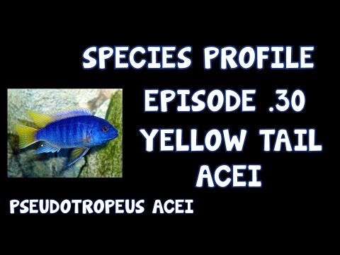 AFRICAN CICHLID│SPECIES PROFILE│YELLOW TAIL ACEI│EP30