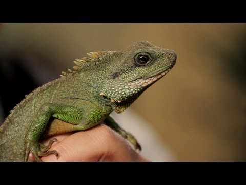 4 Facts about Chinese Water Dragons | Pet Reptiles