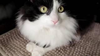 Пушок черно-белый кот с бионическими протезами