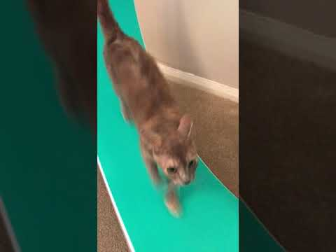 Mavis - Short Hair LaPerm - Cat Wheel 🎡