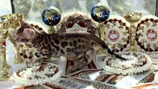 """""""Jaguar Jungle"""". Питомник бенгальских кошек. Первый трейлер питомника :)"""