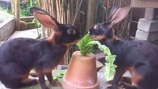 Belgische Hazen - Belgian Hares