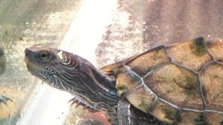 Perfect Turtle Aquarium Setup / Mixed With Fish Third Tank