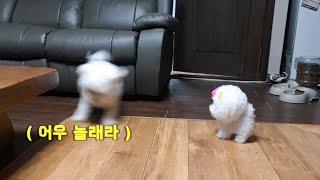 강아지 친구사귀기-강아지장난감-[비숑클럽]