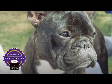 Road to Westminster (RTW): Best of Breed Minute French Bulldog