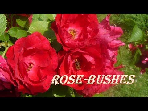 Прекрасные #цветы. Кустовая #роза.