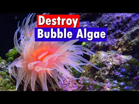 Bubble Algae Control And Removal In A Saltwater Reef Aquarium - Emerald Crabs And Vibrant Reef