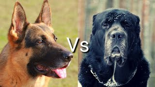 Немецкая овчарка против Алабай! КТО СИЛЬНЕЕ?German Shepherd VS Alabay!WHO IS STRONGER?