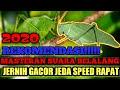 Masteran Suara Belalang Jernih Gacor Jeda Speed Rapat  Mp3 - Mp4 Download