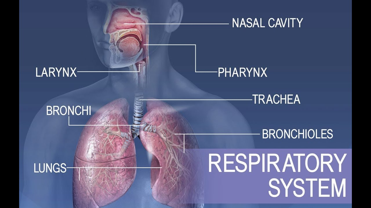 Anatomy And Physiology Of Respiratory System Youtube