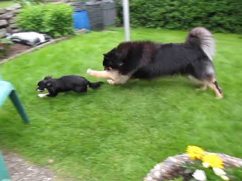 Finnish lap dog and chiwawa fight.