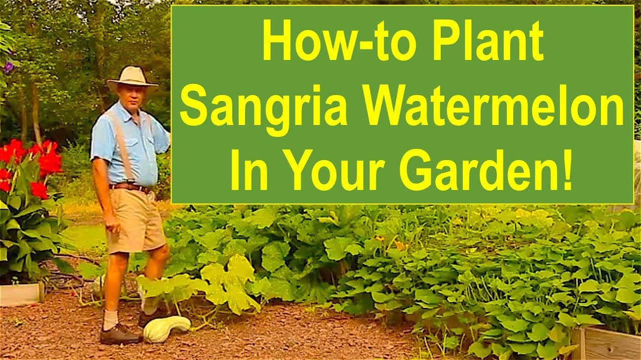 Keep Calm and Learn How to Plant Sangria Watermelon in Your Garden ...