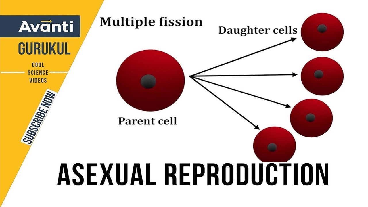 asexual reproduction class 12 binary fission multiple fission spores class 12 bio [ 1280 x 720 Pixel ]
