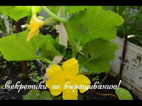 Огурцы.  Наши секреты выращивания!