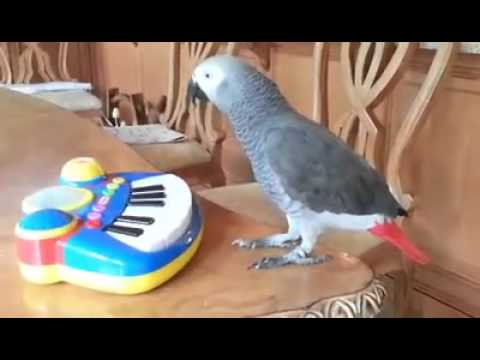 African Grey Parrot Playing With Piano