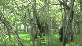 chennai s 450 year old banyan tree one of the oldest trees in the world