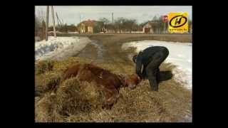 Сбитую лошадь бросили умирать на обочине. Молодечненский р-н