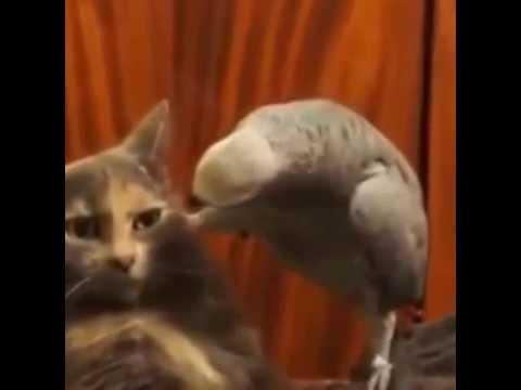 Аварская кот