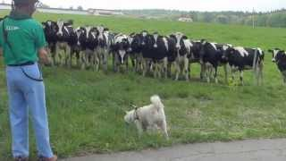 牧場の牛さんがソラを見つけて駆けてきた!凄い迫力にビビる?ソラ。 そ...