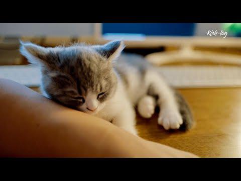 [vlog] raising munchkin kitten 'Soseol'' (ep 7)