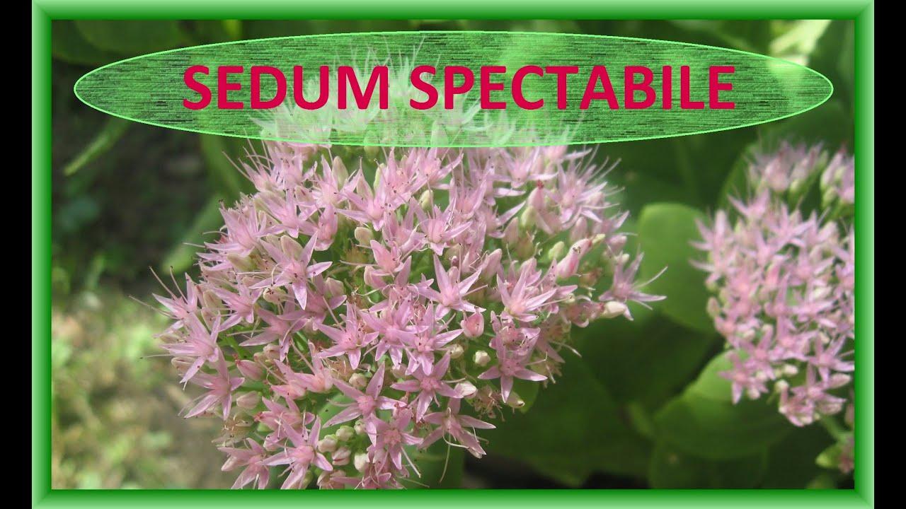 sedum plant video