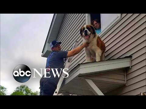 download 180-pound Saint Bernard rescued from rooftop