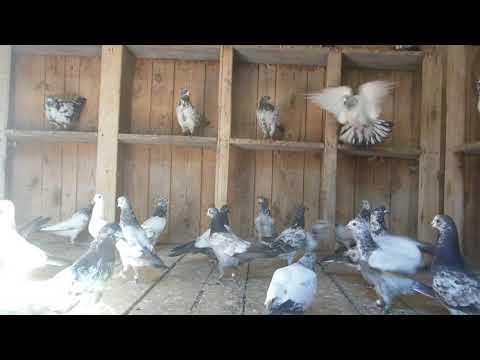 Пакистанские  голуби . Ох ,как с ними  не  просто.