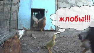 Последняя инкубация / Инкубатор несушка / Птичий двор / Семья в деревне