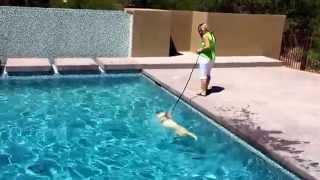 """Mesa Dog Training """"k9katelynn"""" Teaches Owner Of """"pet Planets"""" How To Swim Her (golden Retriever)"""