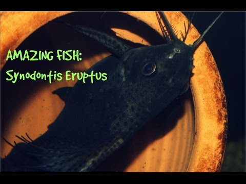Synodontis Eureptus (feather fin catfish) 10 years old from YouTube · High Definition · Duration:  2 minutes 22 seconds  · 1,000+ views · uploaded on 3/11/2015 · uploaded by NYCity Cichlids