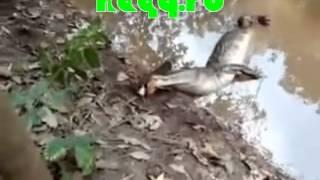 Repeat youtube video Elektrik buraxan ilan balığı Timsahı öldürdü