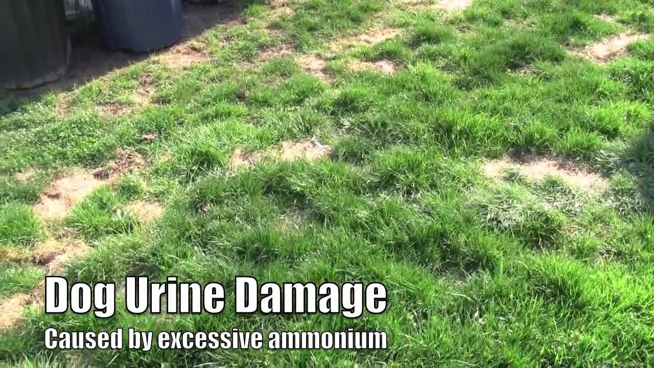 How to plant lawn seed to repair dog lawn spots youtube for How to fix dog urine spots on lawn
