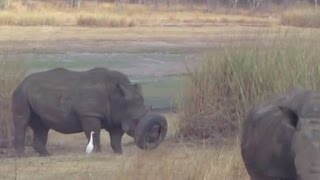 Watch Volunteers Rescue White Rhino Who Got Snout Stuck In Tire