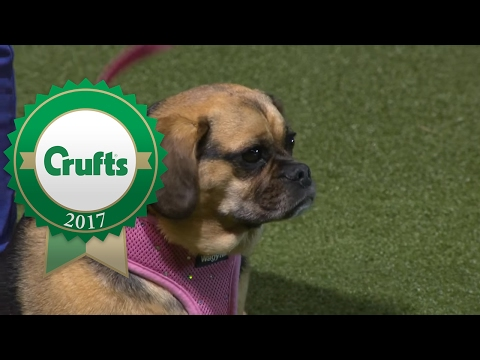 Scruffts Final | Crufts 2017