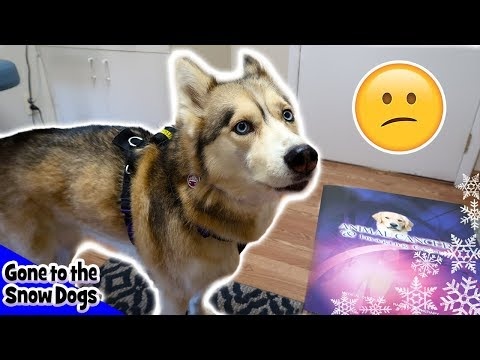 Shelby the Husky goes to the Cancer Doctor
