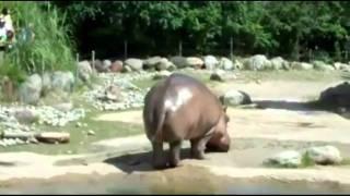 Hippo Fart.flv