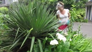How to Clip a Dangerous Yucca
