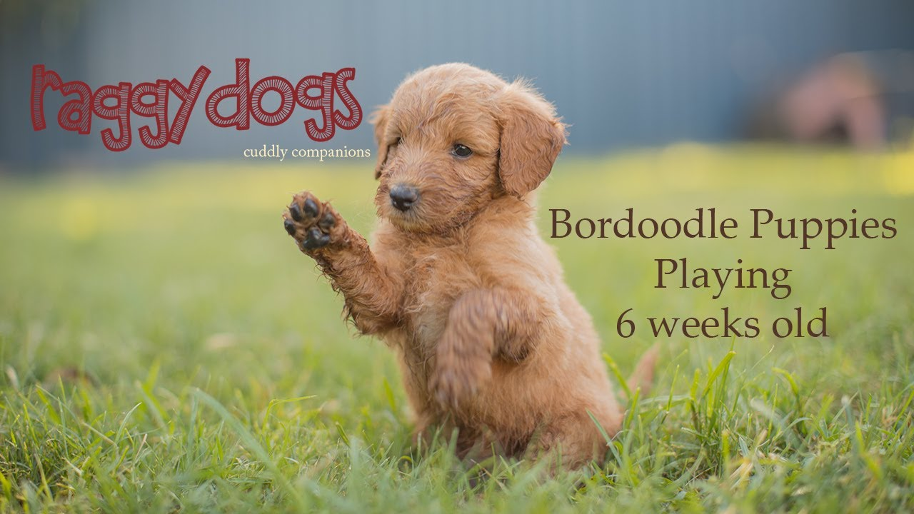 Borderdoodle Border Collie Cross Poodle Puppies 6 Weeks