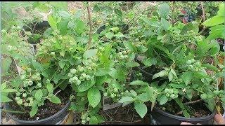Cách trồng cây việt quất xum xuê trái, BLUEBERRY