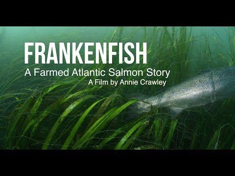 Frankenfish A Farmed Atlantic Salmon Story By Annie Crawley
