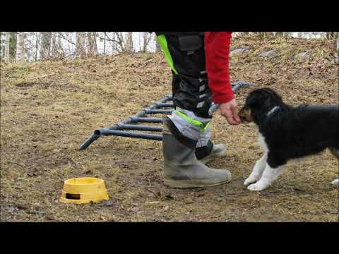 Shetland sheepdog Cherry on her first ladder drill