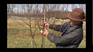 How to Prune a Mature Pear Tree in Early Spring - Gurney