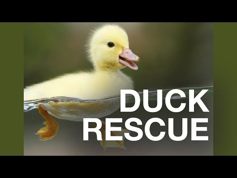 Dramatic Duckling Rescue at Oxford Brookes!