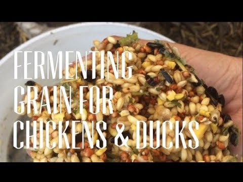 How to Ferment grain for Ducks, Chickens and Turkeys