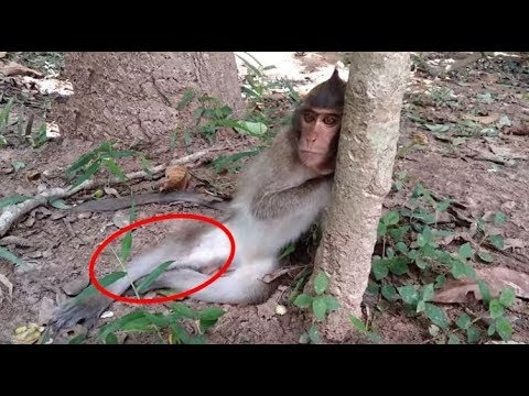 Pity monkey broken leg by motor accident 1 month ago, now he is recover now, he can walk faster