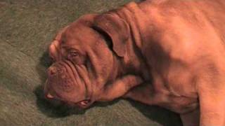 "A Couple Of Dogue De Bordeaux Snoozing At ""discover Dogs"", Crufts 2010, Birmingham Nec"